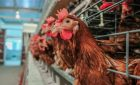 What Do Chickens Eat? 10 Foods That Chickens Can Safely Eat